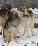 Wolf pictures, The Pack Snow Day IX Picture