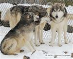 Wolf pictures, The Pack Snow Day X Picture