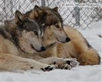 Wolf pictures, The Pack Snow Day XV Picture
