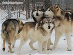 Wolf pictures, The Pack Snow Day XVI Picture