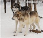 Wolf pictures, The Pack Snow Day XVIII Picture