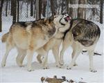 Wolf pictures, The Pack Snow Day I Picture