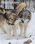Wolf pictures, The Pack Snow Day IV Picture