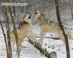 Wolf pictures, lots of noise Picture