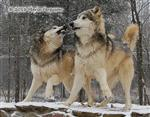 Wolf pictures, grrrrr Picture