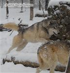 Wolf pictures, pounce Picture