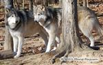 Wolf pictures, handsome fellers Picture
