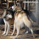 Wolf pictures, posturing Picture