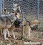 Wolf pictures, fence fighting I Picture