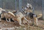 Wolf pictures, fence fighting II Picture