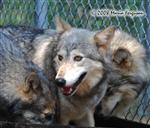 Wolf pictures, Mom and daughters Picture