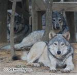 Wolf pictures, the girls Picture