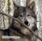 The Hunter Wolf picture Picture