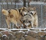 Wolf pictures, getting caught Picture