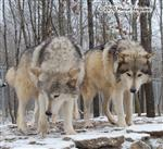Wolf pictures, leaders of the pack Picture