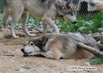 Wolf picture, father and son Picture