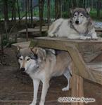 Wolf pictures, the boys Picture