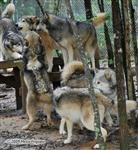 Wolf pictures, homage Picture