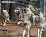 Wolf pictures, walking with the Pack Picture