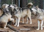 Wolf pictures, pack dyanmics Picture