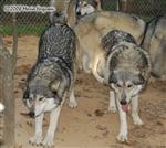 Wolf pictures, the pack