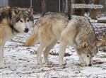 Wolf pictures, Mom and Son