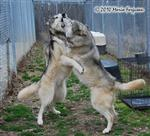 Wolf pictures, wanna dance Picture