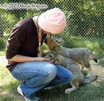 Wolf pups flirt picture Picture