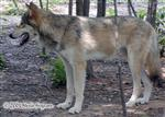 Timber Wolf Watachee Picture