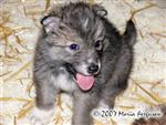 Toy Wolf Pup picture Picture