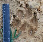 Wolf pictures, Our Wolves Tracks I Picture