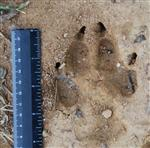 Wolf pictures, Our Wolves Tracks II Picture
