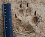 Wolf pictures, Our Wolves Tracks IV Picture