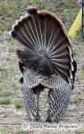 Wild Turkey showing off Picture