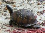 Eastern Box Turtle Picture