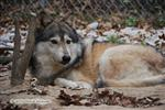 Wolf pictures, resting Picture