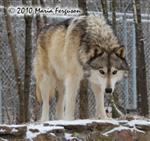 Wolf pictures, in snow Picture