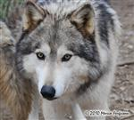 Wolf pictures, gorgeous eyes Picture