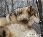 Wolf pictures, snowy profile Picture