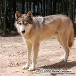 Alpha Male Wolf picture Picture