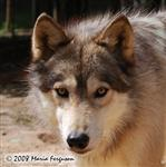 Beautiful Wolf Portrait Picture