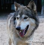 Wolf pictures, Alpha summer coat Picture