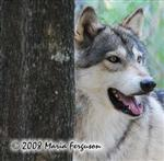 Wolf picture, behind a tree Picture