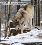Wolf pictures, going down Picture