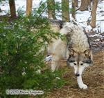 Wolf pictures, stalking around the Xmas Tree Picture