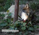 Wolves with enrichment ball picture IV Picture