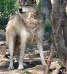 Wolf on alert picture Picture