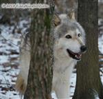 Wolf has nice Teeth Picture