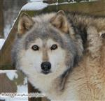 Good Looking Wolf