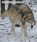 Wolf out for a stroll Picture